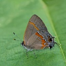 Red-banded Hairstreak by taggart