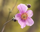 Japanese Anemone by taggart