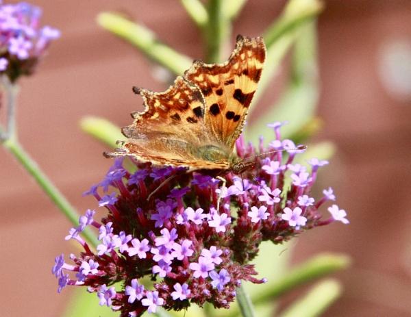 Comma Butterfly by Lencollard