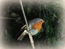 Robin. by brandish