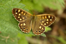 Speckled Wood--Pararge aegeria