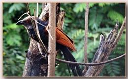 *** Crow pheasant ***