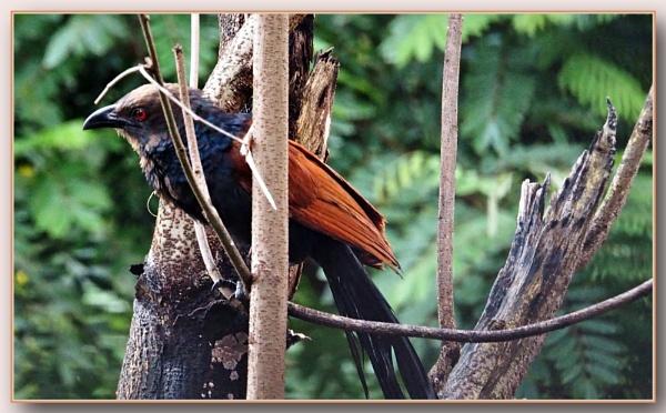 *** Crow pheasant *** by Spkr51