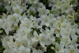 Photo : White Flowers