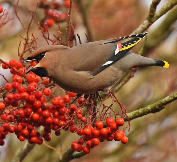 Waxwing & Rowan Berries by MalcolmM