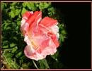 September Garden Rose by Rock