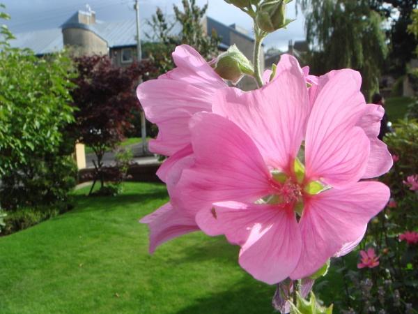 Autumnal Garden (Lavatera Clementii Rosea) by digital_boi