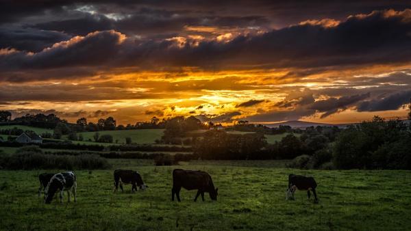 golden grazing by zwarder