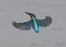 Kingfisher in Flight by NeilSchofield