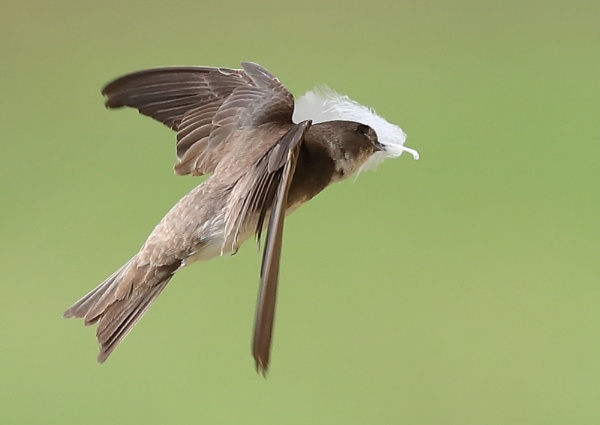 Sandmartin with Feather by NeilSchofield