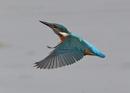 Kingfishers in Flight by NeilSchofield