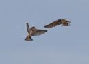 Swallows Feeding Young  In Flight by NeilSchofield