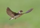 Sandmartin in Flight by NeilSchofield