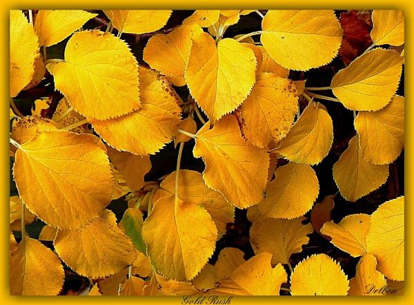 Gold Rush by Delbon