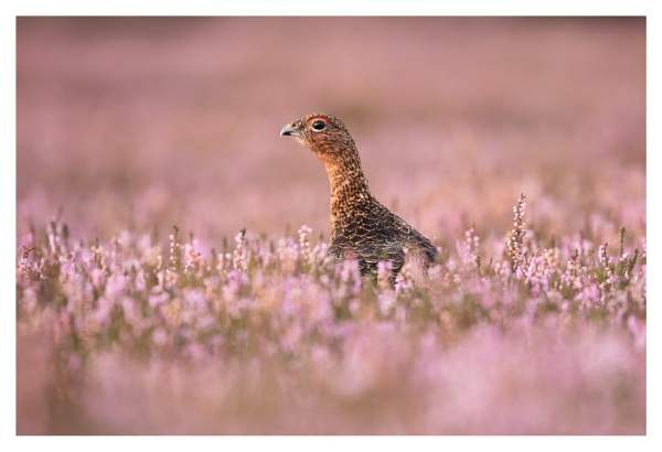 redgrouse in heather by ROB1972
