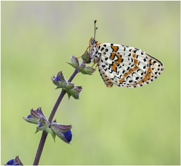 Spotted Fritillary.