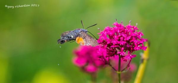 hummingbird hawkmoth by dj_gary