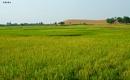 Paddy field by debu