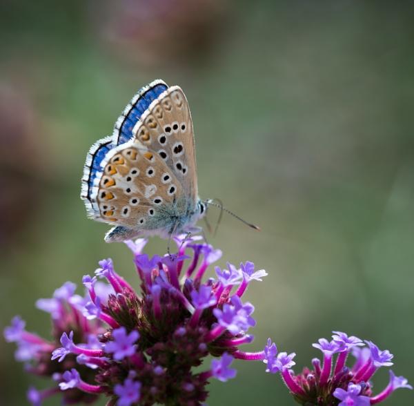 Adonis Blue (Polyommatus bellargus) by jasonrwl
