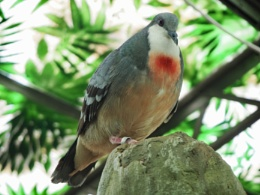 Pigeon red breast