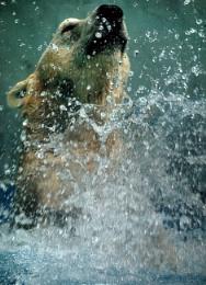 Polar Bear lets go swimming