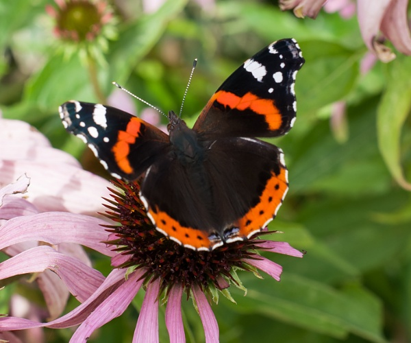 Red Admiral by chriswood