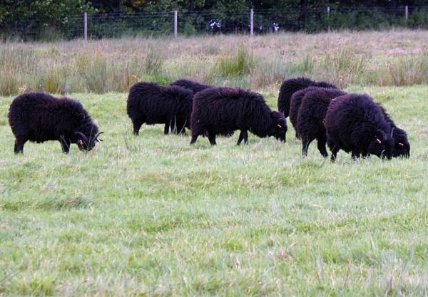 Ba Ba Black Sheep. by Gypsyman