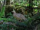 Pheasant by ANNDORASBOX