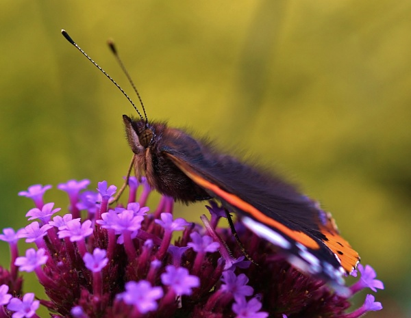 Red Admiral Butterfly by georgiepoolie