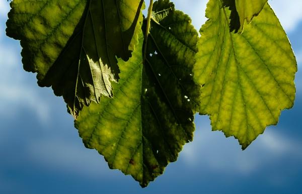 Leaf Study 2 by Nikonuser1