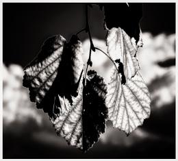 Leaf Study in Mono
