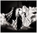 Leaf Study in Mono by Nikonuser1