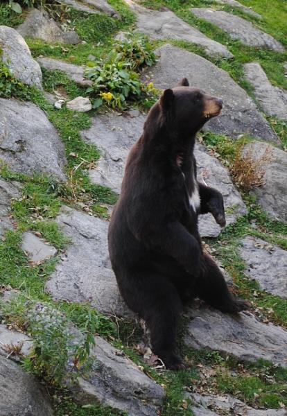 Bear by kl0verleaf