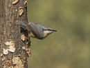 Nuthatch  Sitta europaea by ade123
