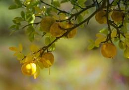 Oranges and Thorns