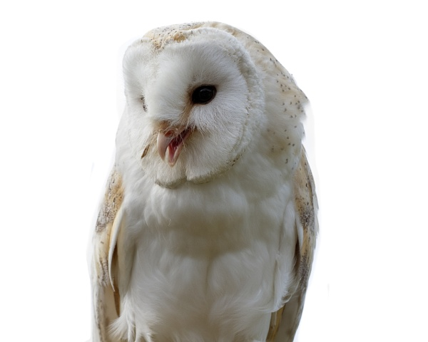 Barn Owl by bppowell