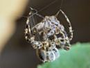 Garden spiders having mated. by brandish