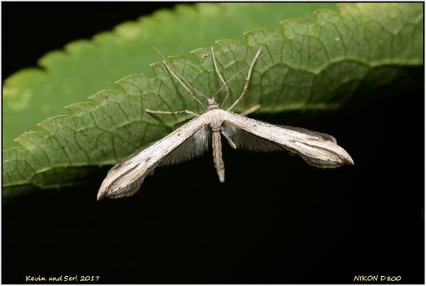 Plume Moth by KevinandSeri