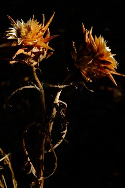 artichokes by larcx
