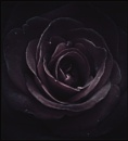 Rose To The Occasion by Morpyre