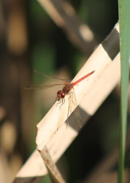 Dragonfly by DMac360