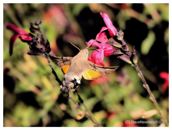 Humming bird hawk Moth by DaveNewbury