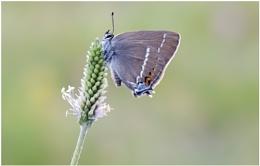 Blue-spotted Hairstreak