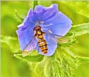Hover-fly on Harebell.# by bricurtis