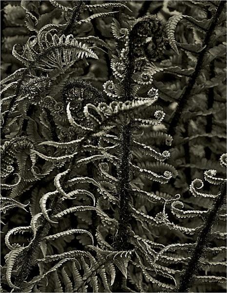 Ferns by MalcolmM