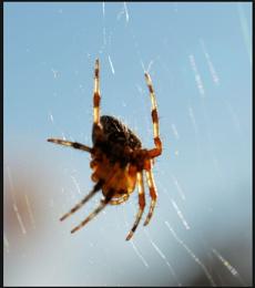 ** Swinging Spider **