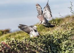 Pigeons fighting