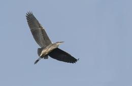 In flight Heron