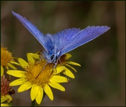 Common Blue(m) Nectaring on Ragwort.