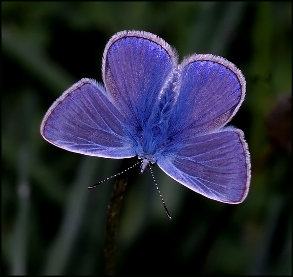 Common Blue(m) Basking. by Badgerfred
